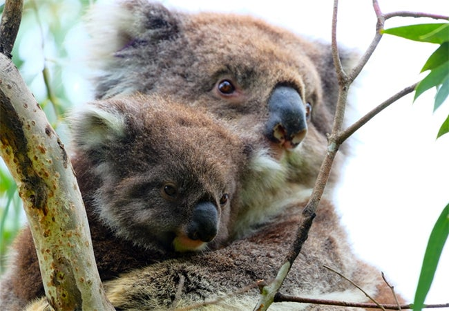 An older koala holds a younger koala in its arms as they both look out from the branches.