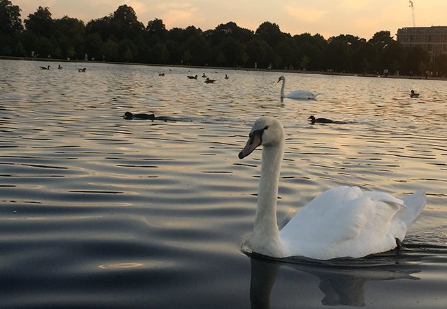 Swans glide over the smooth surface of a lake at sunset.